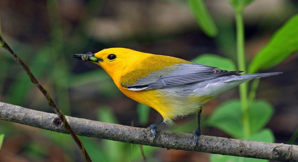 The prothonotary warbler became known in the 1940s as the bird established a connection between Whittaker Chambers and Alger Hiss.