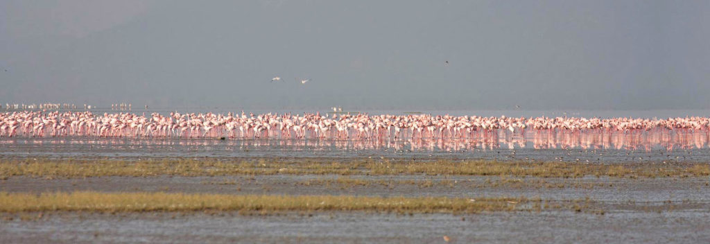 Three-quarters of the world population of lesser flamingos (Hoenicopterus minor) live in East Africa and use Lake Natron as there nesting site.