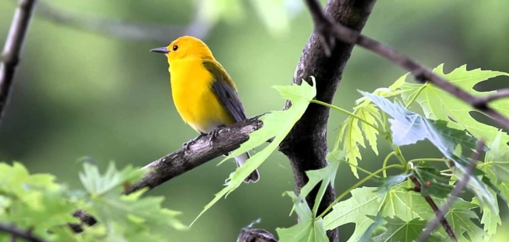 the male bird often builds various incomplete and unused nests, however female builds the real nest.