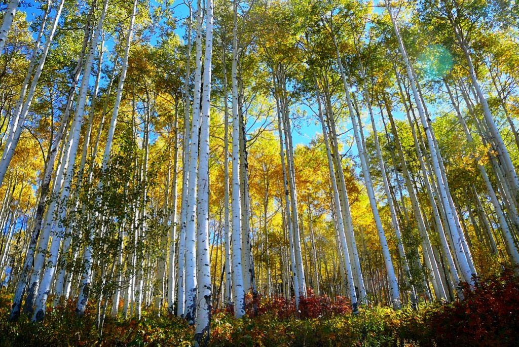 The special properties of the quaking aspen, fascination with the beauty, complexity, and continuing mystery of this tree perhaps save clones like Pando from a destiny as firewood.