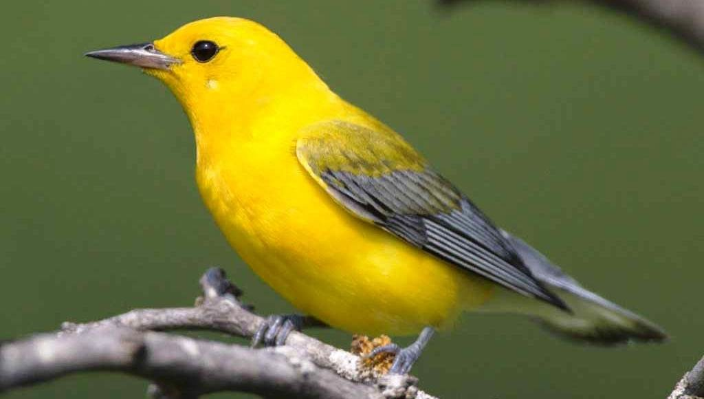 """The prothonotary warbler """"Protonotaria citrea"""" belongs to warbler family, the only member of genus Protonotaria."""