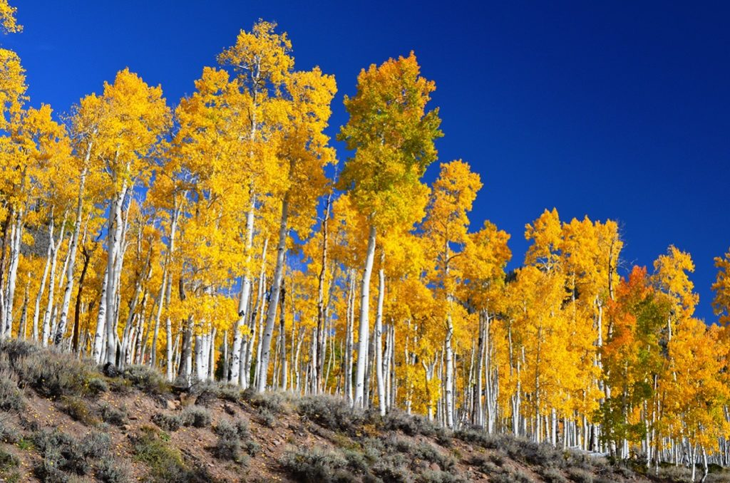 However, various trees spread through flowering and sexual reproduction; quaking aspens normally reproduce asexually, by sprouting new trees from the expansive lateral root of the parent.