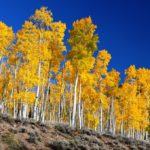 Pando: The One Tree Forest