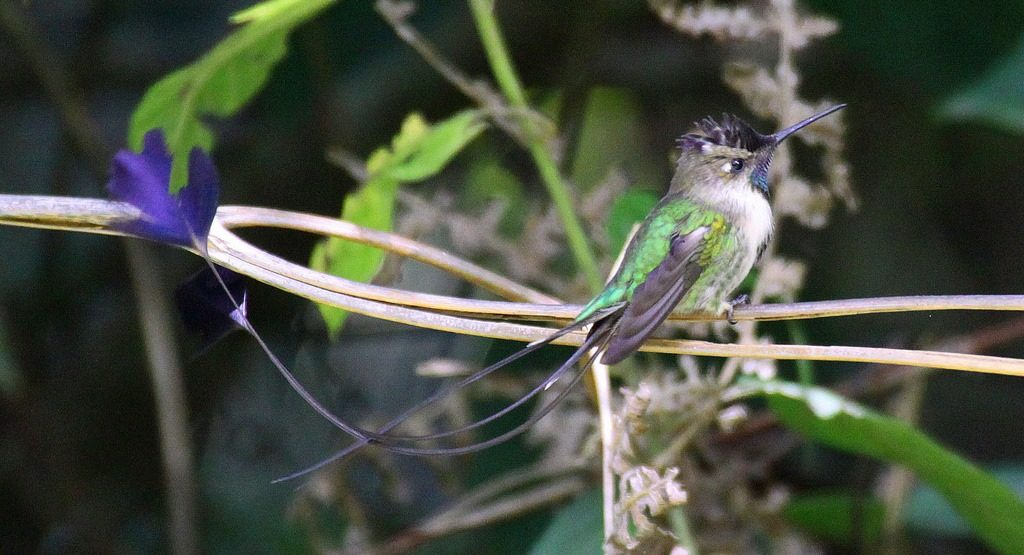 The Marvellous Spatuletail hummingbird is among the rarest and striking of birds and uncommon due to its extreme mating behavior.