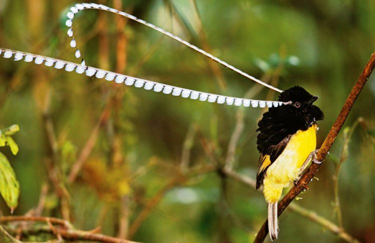 The King of Saxony bird-of-paradise likes to eat mainly fruits, false figs, berries, insects and arthropods.