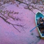 The Beauty of Fallen Cherry Blossoms Petals