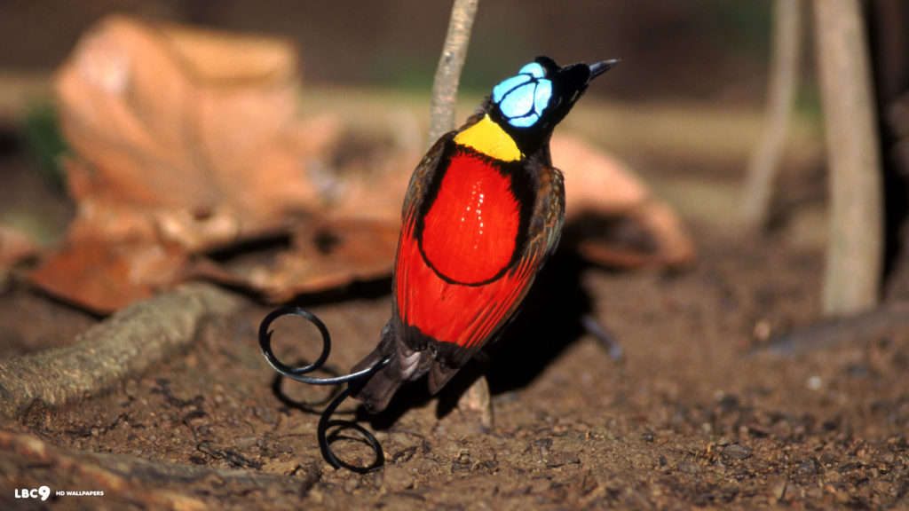 The exotic bird has the unique outlook with striking scarlet, yellow, green and blue plumage,