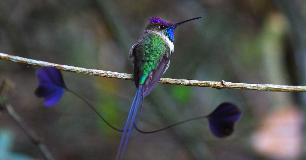 The bird body size is slightly fluffy ping-pong ball, and beak in the size of matchstick.