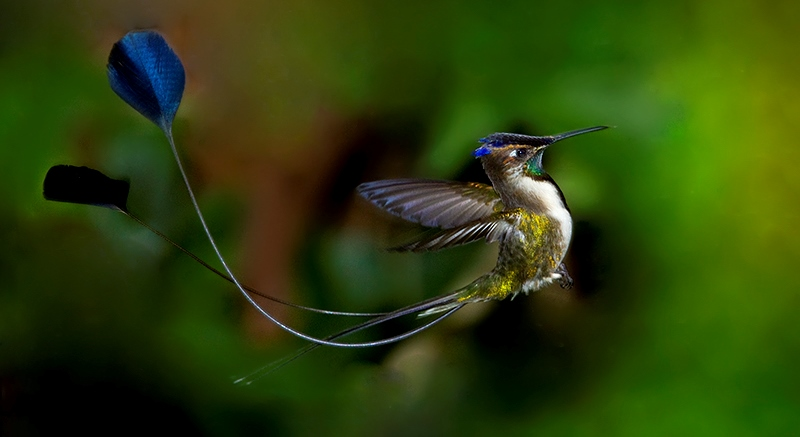 he bird call has been described as a thin, sweet, rising 'wsst', however displaying to the female the male marvellous spatuletail produces a snapping sound.