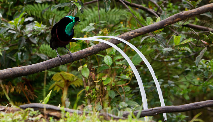 """The body is normally velvet black, though the male has an iridescent olive green and bronze plumage with adorned with ornamental """"ball"""" plume above its bill and two extremely long, ribbon like tail feathers."""