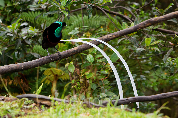 "The body is normally velvet black, though the male has an iridescent olive green and bronze plumage with adorned with ornamental ""ball"" plume above its bill and two extremely long, ribbon like tail feathers."