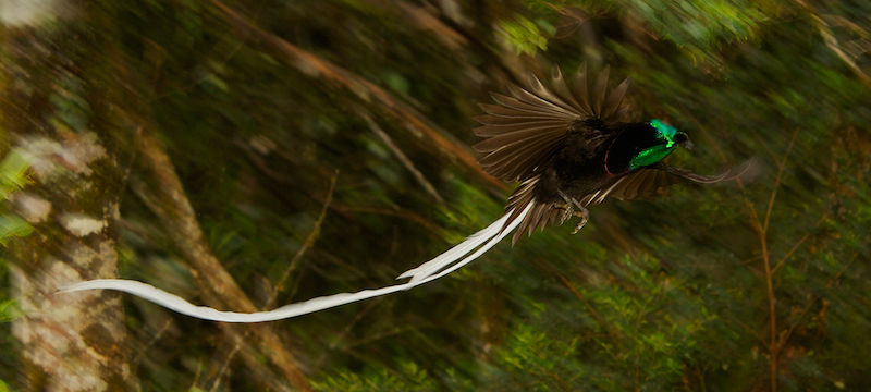 The terrifically long tails of male Ribbon-tailed Astrapia's sometimes have to pause to untangle they're tails before they can fly away not a survival advantage.