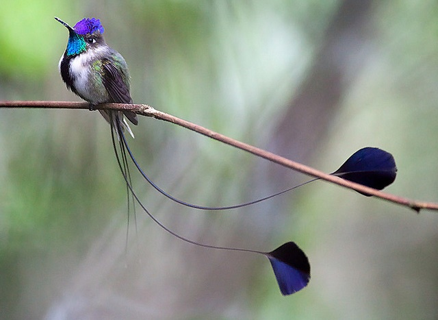 This bird can be found at the forest edges of Rio Utcubamba region in Peru.