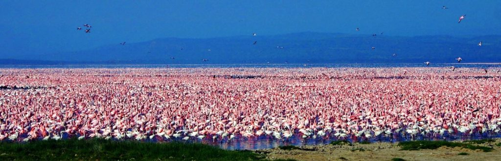 Lesser-and-Greater-Flamingos-2-million-Kenya-Lake-Nakuru-David-Shackelford