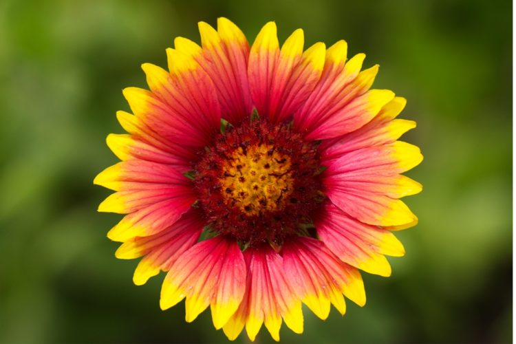 Blanket flower is a perennial long season of bloom, produced from early summer to early fall in different shades.