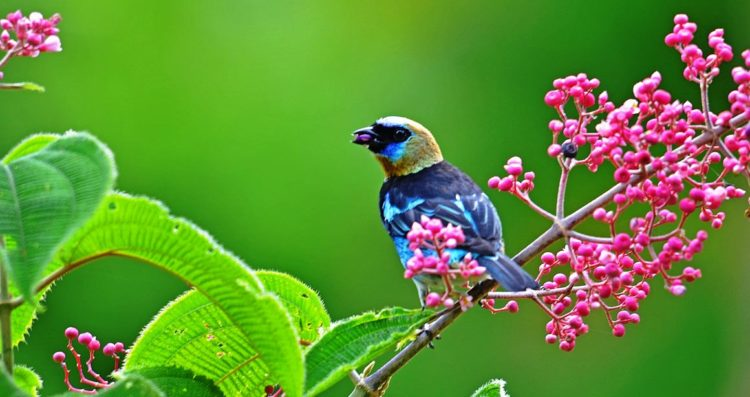 Golden-hooded Tanager is listed as a bird of Least Concern by the IUCN.