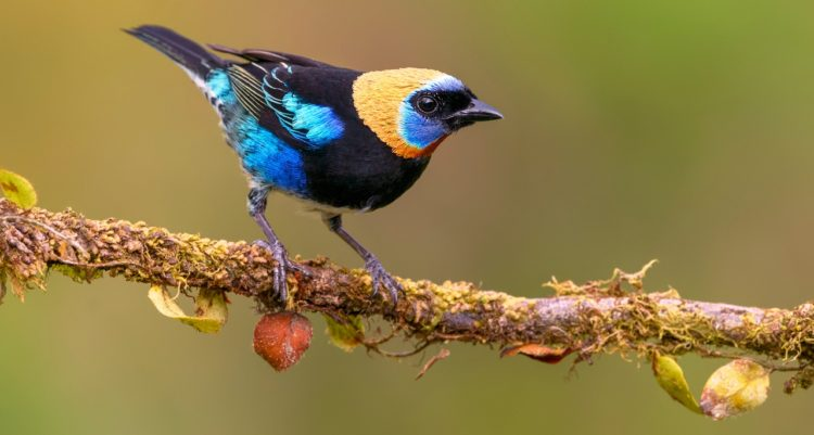 The male bird has a golden head with a black eyemask edged with violet blue above and below, however upperparts is black apart from turquoise shoulders, rump and edgings of the wings and tail.