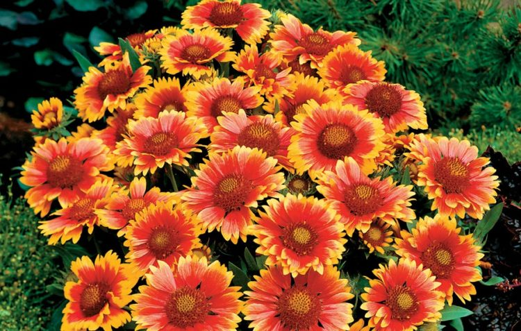 Blanket Flower is also known as Gaillardia is a genus of flowering plants in the sunflower family.