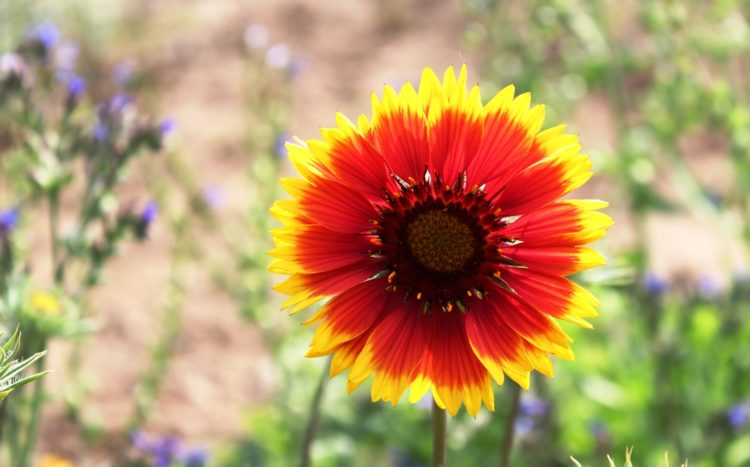 Gaillardias look like large daisies, with bold, bright markings like those of an American Indian blanket, in patterns of red, yellows and golds.