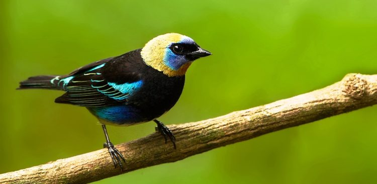 The song of Golden-Hooded Tanager is tuneless rattled series of tick sounds, but its call is sharp tsit.