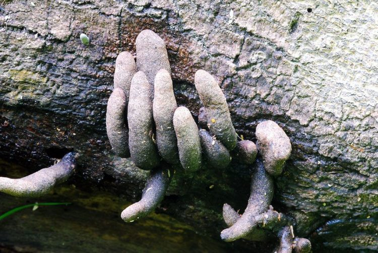 The dead man's fingers is characterized by its elongated upright, clavate, or strap-like stromata poking up through the ground, much like fingers.