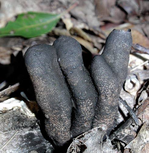 """Therefore, this fungus is often found with a multitude of separate """"digits"""" but at times the individual parts will be fused together."""