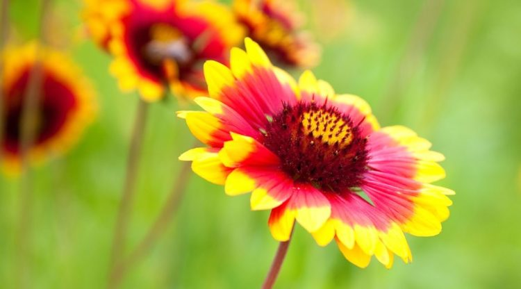 Blanket Flower is sometimes rolled into a funnel shape are many tubular disc florets at the center of the head in a similar range of colors, and usually tipped with hairs.