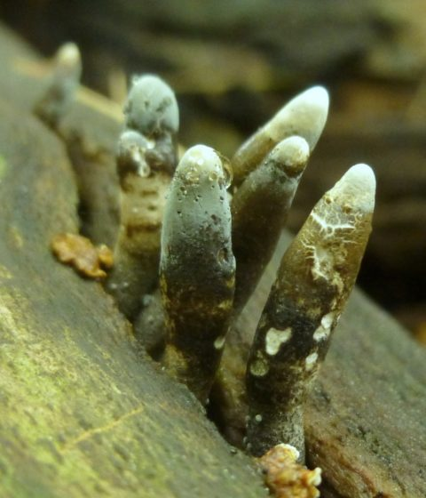 """Moreover, the largest and most frequently recognized """"ascomycetes"""" include the morel and the truffle; though the polymorpha is an inedible variety."""