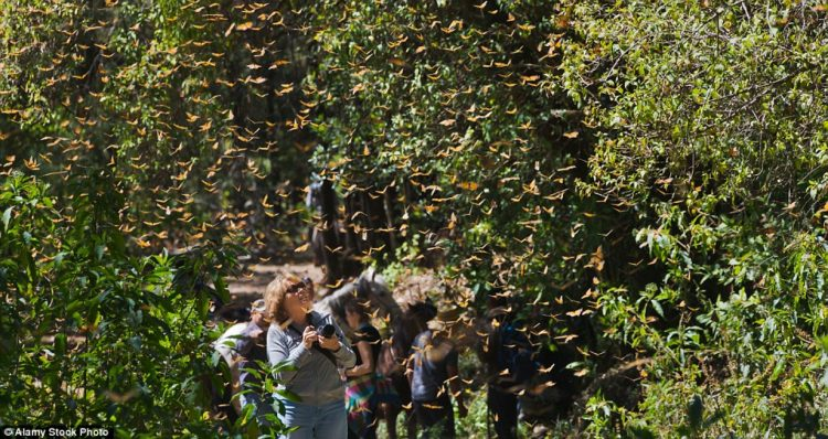A tourist photographing Monarch butterflies, which have partly increased in number over the last couple of years thanks to more favorable weather conditions along the monarch's migratory routes
