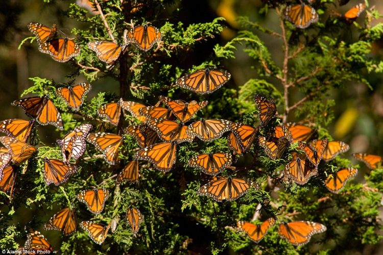 Monarch butterflies rest on pine trees in the Rosario Butterfly Reserve, Michoacan. The butterflies are counted by the surface area they cover