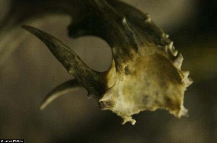 Some of his collection include antlers that are 'atypical' - where the bone has become inverted