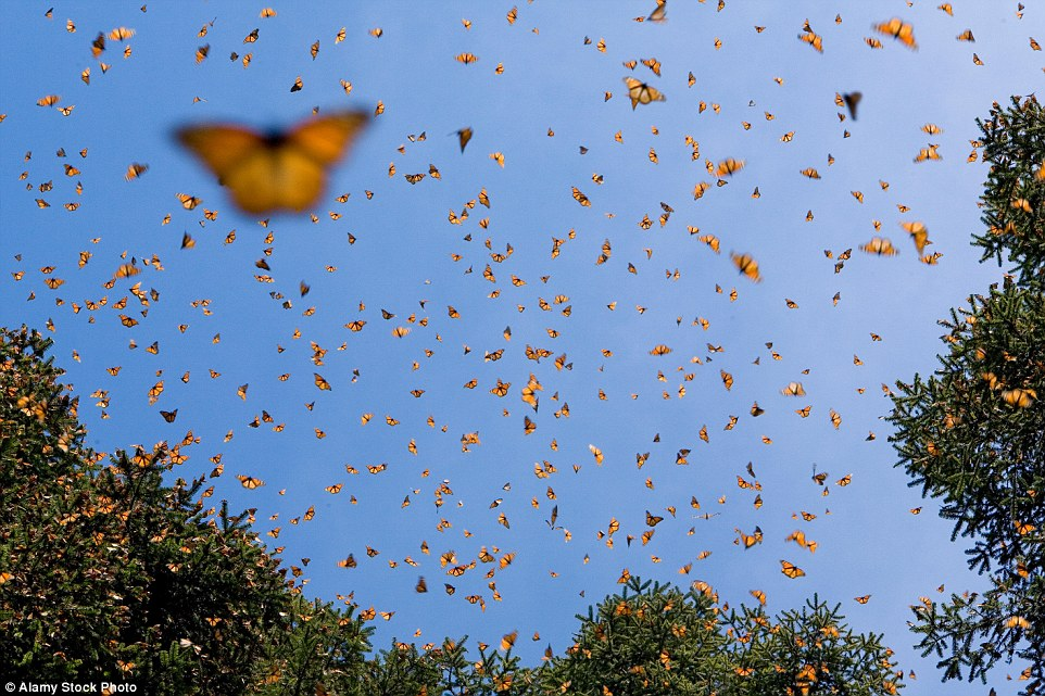 This December, the butterflies covered 10 acres (about 4 hectares), compared to 2.8 acres (1.13 hectares) in 2014 and a record low of 1.66 acres (0.67 hectares) in 2013