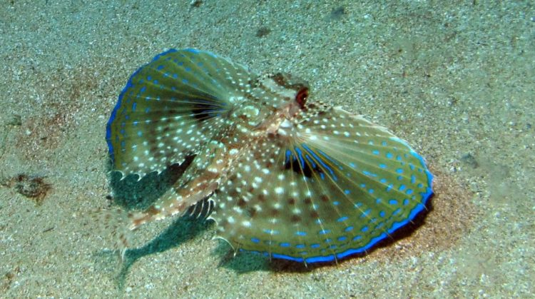 The flying gurnard (Dactylopterus volitans), is a bottom-dwelling fish of tropical to warm temperate waters on both sides of the Atlantic Ocean.