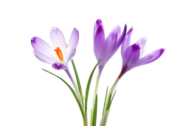 Colchicum autumnale, generally recognized as autumn crocus, meadow saffron or naked lady, is a flower that resembles the true crocuses, but blooms in autumn.