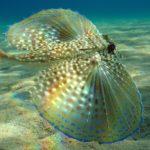 The Semi Transparent Flying Gurnard Fish