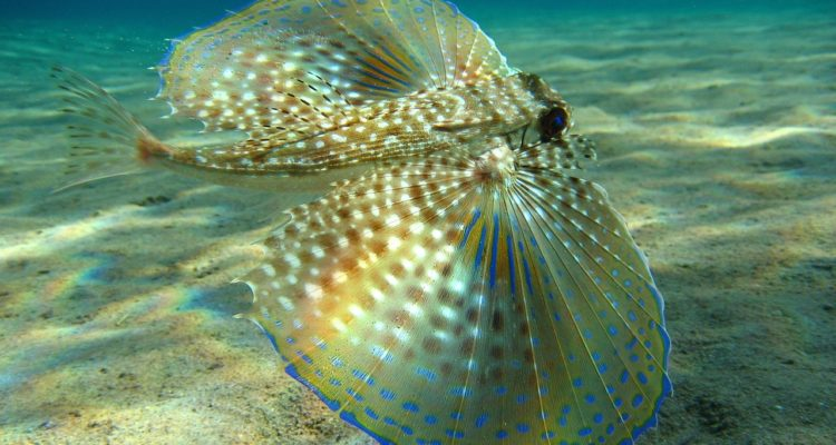 Moreover, when the fish excited, he spreads its fanlike wings which are beautiful semi-transparent, with a phosphorescent bright blue coloration at their tips.
