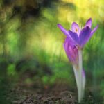 How to Grow Colchicum Autumnale