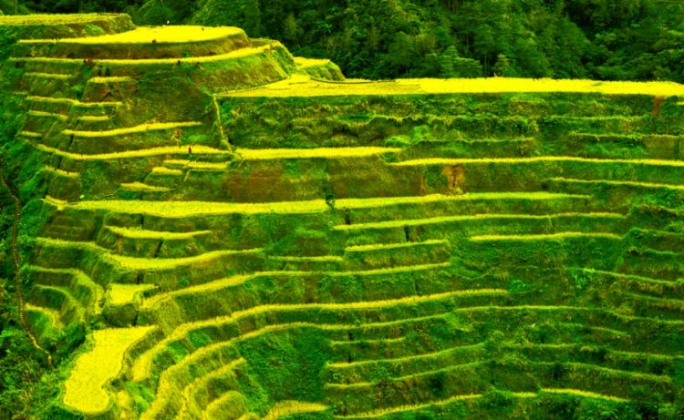 Banaue Rice Terraces are not in the list of UNESCO World Heritage Site due to the presence of various modern structures.