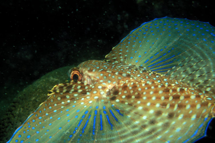 The flying gurnard also known as the helmet gurnard, similar species from the genus Dactyloptena are found in the Indian and Pacific Oceans.