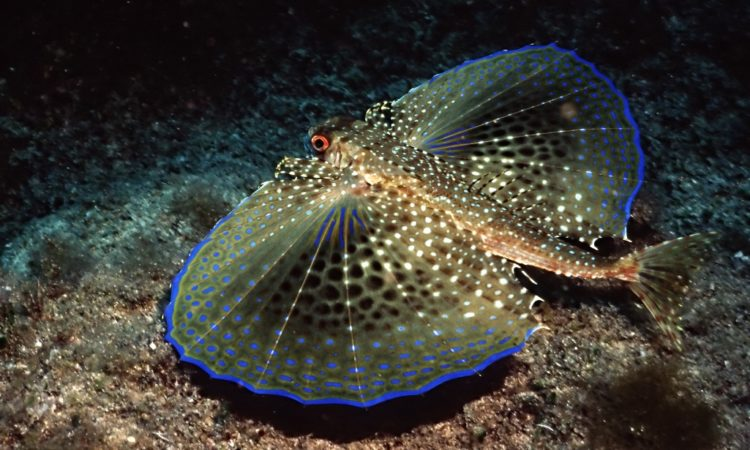 These are naturally designed to scare away predators, but they don't help the fish to glide in the air as do the fins of flying fish.