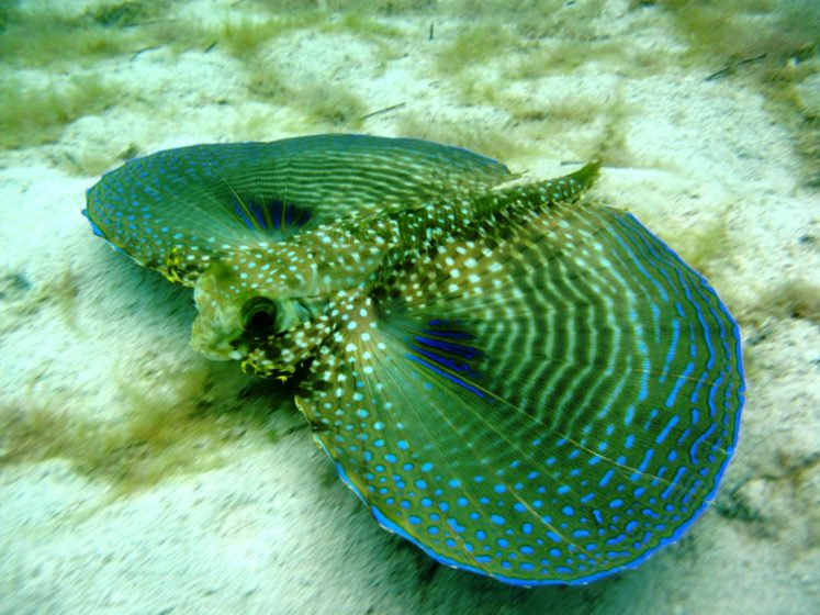 The flying gurnard is a very dazzling fish, erratic widely in color; so most of them are of in the shade of brownish to greenish olive, with the lower side paler, nonetheless marked erratically with reddish salmon or salmon yellow.