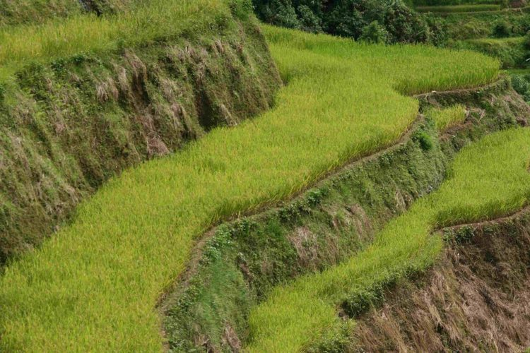 The Ifugao's peoples using indigenous technologies for water irrigation, stonework, earthwork and terrace maintenance.