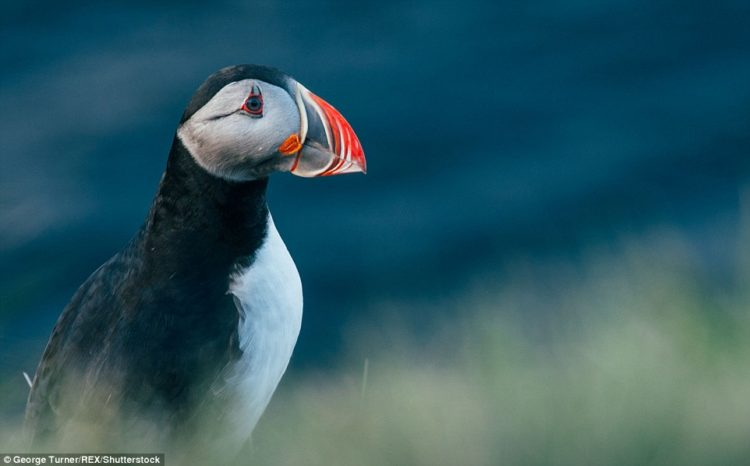 A puffin bird shows off its vividly-coloured bill during Turner's recent photography trip to Iceland