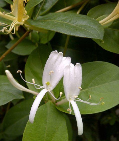 Honeysuckle Lonicera japonica