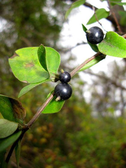 L. japonica fruit