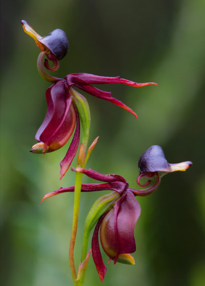 Flying Duck orchids (Caleana Major) are found in eastern and southern Australia.