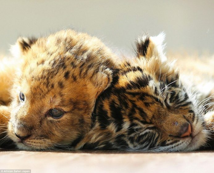 staff-at-the-park-remarked-on-twitter-how-while-its-young-the-lion-cub-looks-more-like-a-leopard-in-this-photograph
