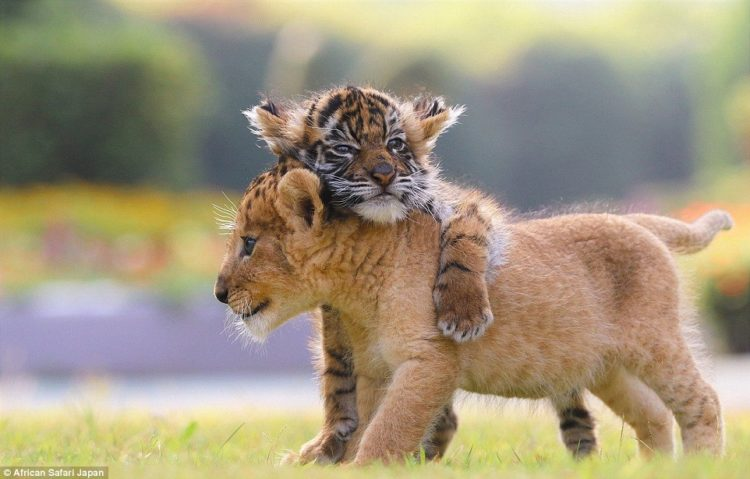 these-adorable-lion-and-tiger-cubs-were-born-at-african-safari-in-the-oita-prefecture-of-japan-earlier-this-year