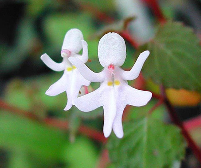 This species of impatiens (Impatiens Bequaertii) grows to only about half an inch in size, and are thought to look like dancing girls.
