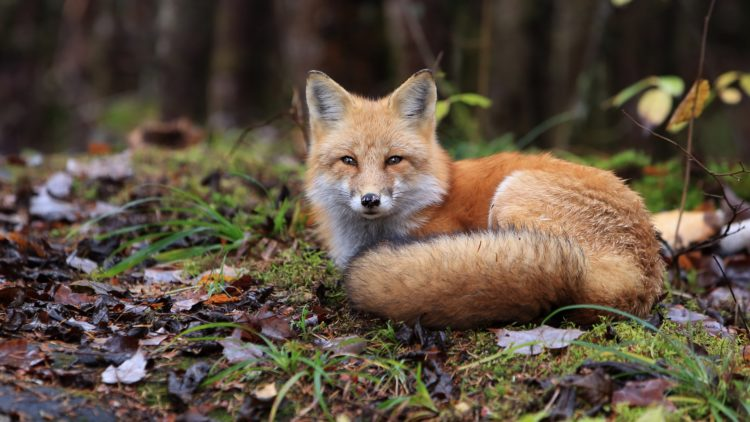 Red Fox resting on the forest floor in Algonquin Provincial Park, Ontario, Canada.